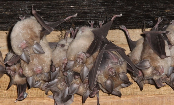 DWT Homes for bats appeal. Roosting Greater Horseshoe Bats Photo copyright John J Kaczanow All rights reserved)