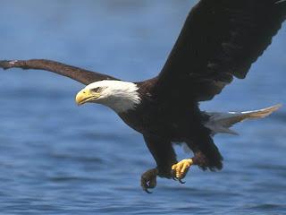 El Águila de ala corta y la Zorra