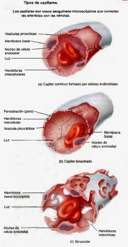 Vasos sanguíneos - Sistema circulatorio