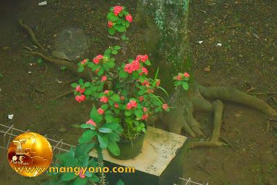 Cara perawatan bunga Euphorbia biar berbunga terus