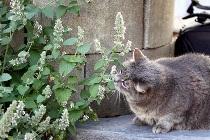 Erba gatta catnip facciamo un po di chiarezza for Erba per gatti