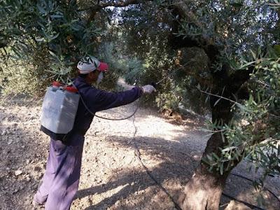 18.070 ευρώ για τη καταπολέμηση του δάκου της ελιάς στην Π.Ε. Θεσπρωτία