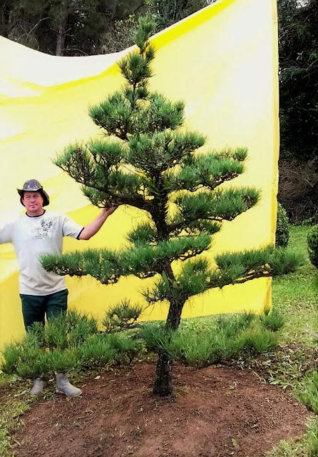 pinheiro negro kuromatsu para jardim japones