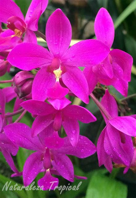 Variedad púrpura de una orquídea del género Spathoglottis