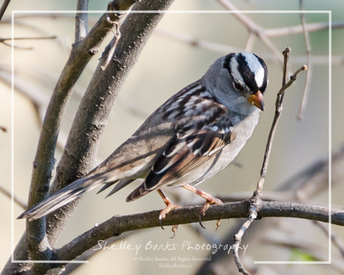 White-crowned Sparrow. Copyright © Shelley Banks, all rights reserved