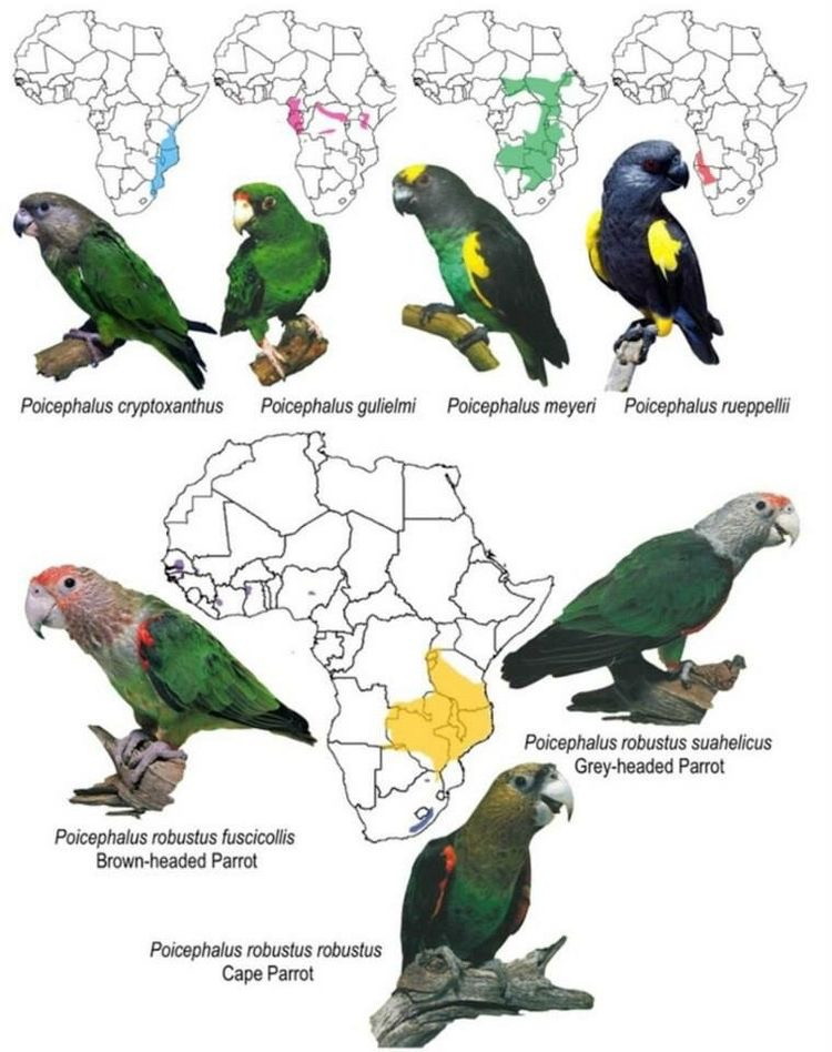 Papagaios da África