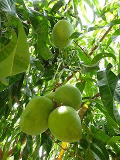 cara merawat pohon mangga agar cepat berbuah