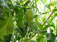 Belajar Cara Merawat Pohon Mangga Dengan Benar Agar Cepat Berbuah