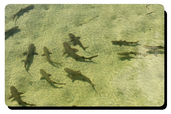 School of lemon shark