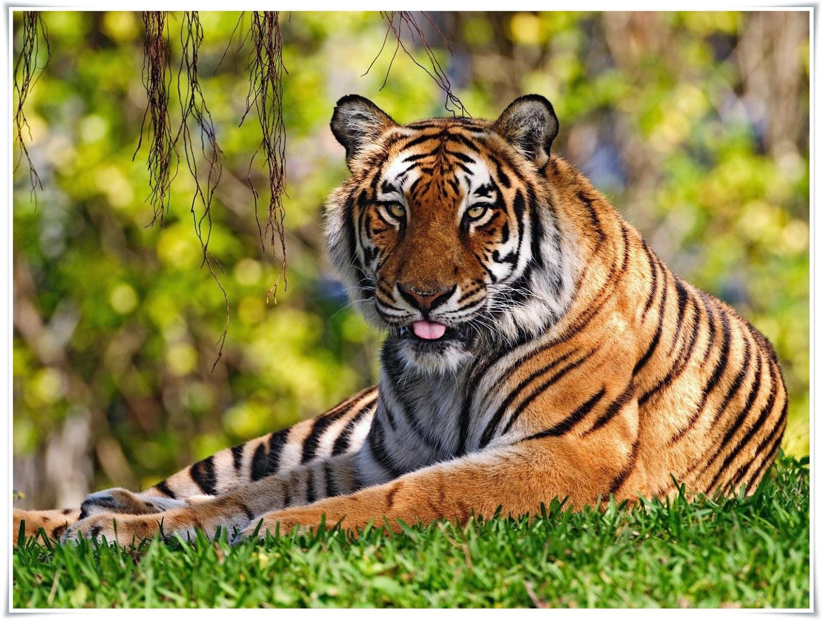 gambar harimau