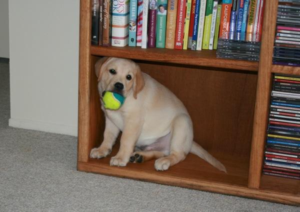 Labrador puppy Cooper in bookcase
