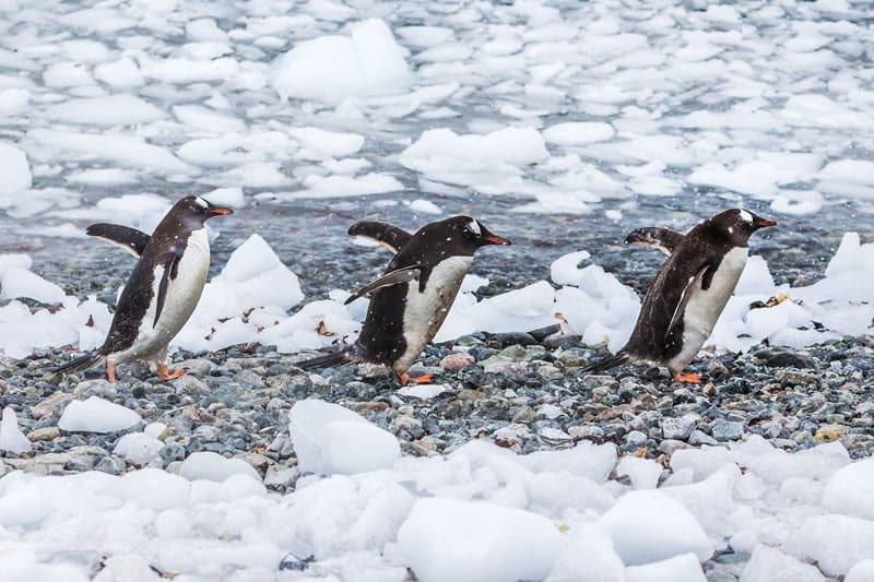 Антарктида пингвины