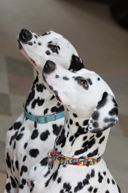 Two Dalmatian Puppy Truths
