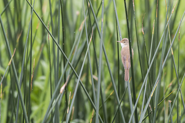 Sunny Patch Walk - Reed Warbler