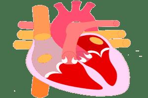 Localización de la aurícula derecha (en gris claro) con el corazón visto de frente