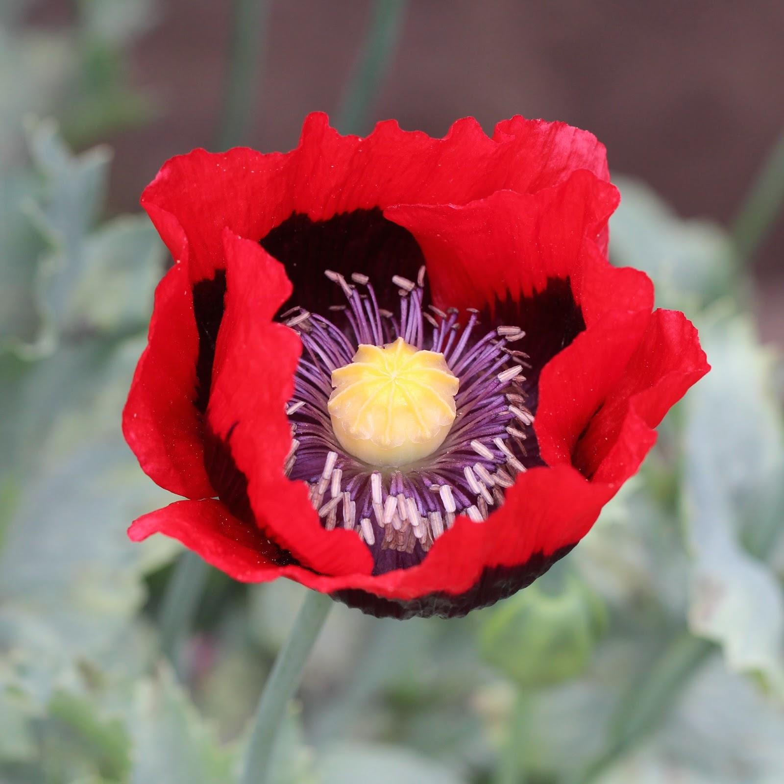 Trogtrogblog Black And White Poppy Pollen
