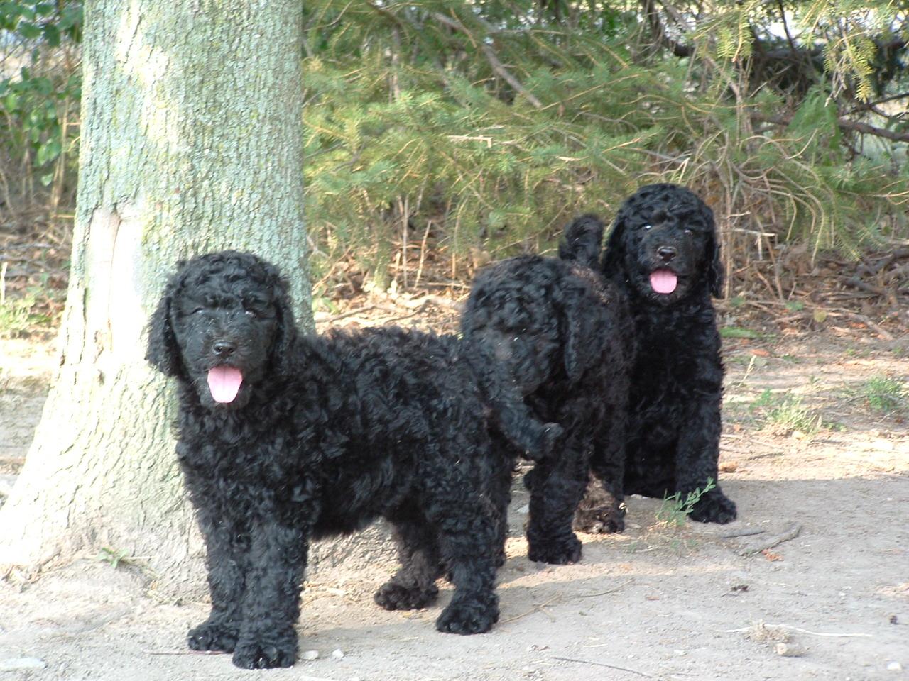 Manns Best Friend ~ AKC Poodles CKC Multi-Generational Labradoodles