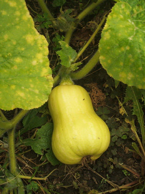 butternut squash growing on our allotment plot
