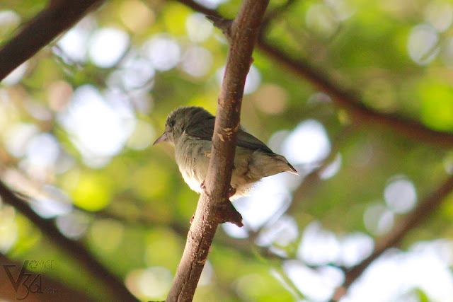 The cutest of all was the Pale-billed Flowerpecker