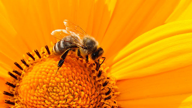 Ecólogos advierten que las abejas se extinguirán en cuestión de años