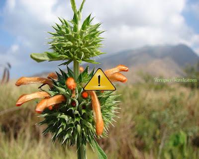 Contraindicações do Cordão-de-frade