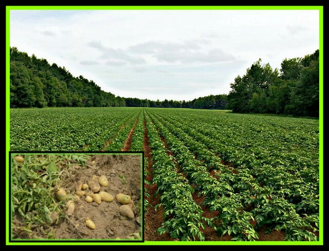 POTATO FIELD,NATURE