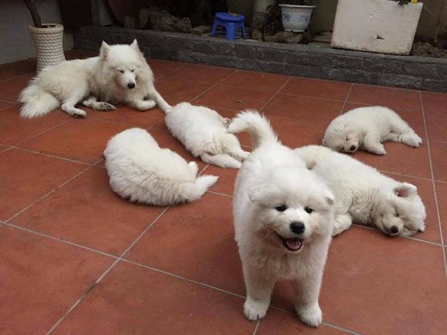 Thời điểm phối giống chó samoyed và alaska