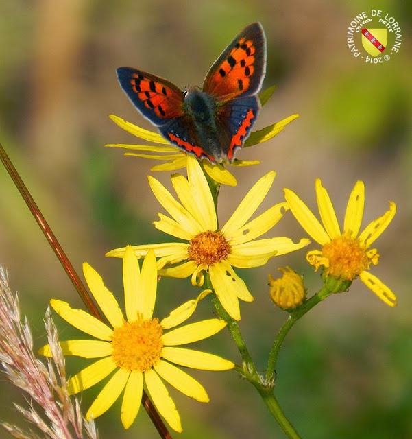 Le cuivré commun (Lycaena phlaeas)