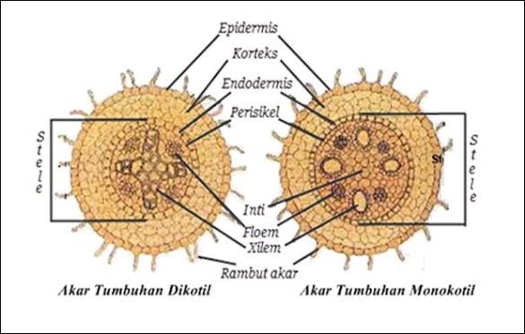 Struktur Akar Monokotil dan Dikotil beserta Perbedaannya Dan GAMBAR