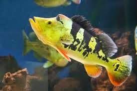 Ikan Cichla monoculus,