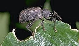 Adult vine weevil eating a hole in a leaf