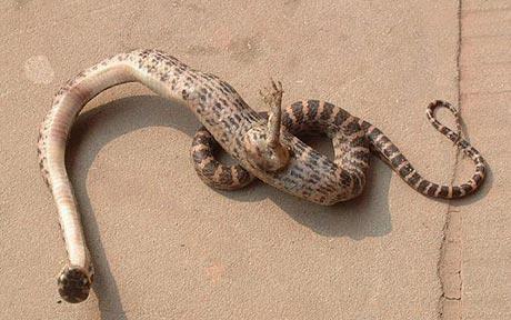 Impressionante! Mulher encontra uma cobra com garras em sua residência