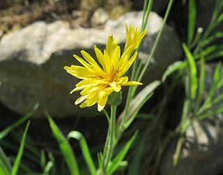 Escorzonera (Scorzonera baetica) flor silvestre amarilla