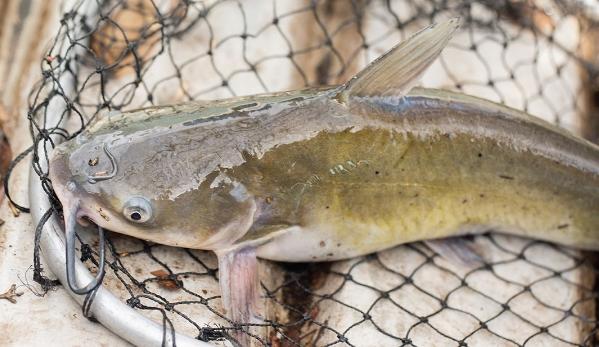 Gambaran Contoh Produk Pada Usaha Ikan Lele Yang Diminati Konsumen