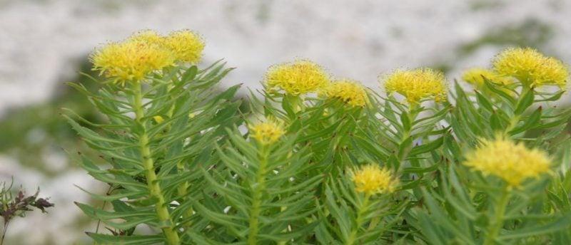 A Rhodiola Rosea é uma planta muito utilizada na atualidade para fortalecer o sistema nervoso, combate o stress, a ansiedade, a fadiga e até mesmo para tratar quadros depressivos.