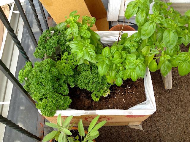 erbe aromatiche coltivate sul balcone