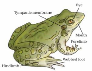external features morphology of frog rana tigrina. Black Bedroom Furniture Sets. Home Design Ideas
