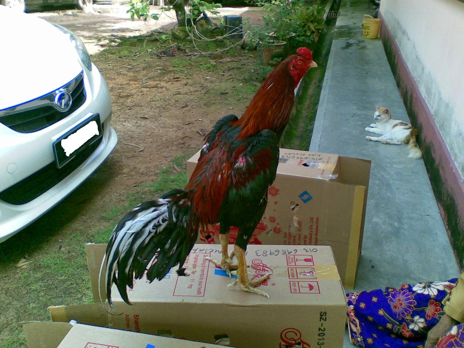 Ayam Siam Ayam Sabung Jun