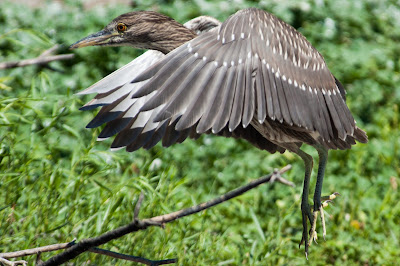Juvenile Black-crowned Night-Heron, Denver City Park