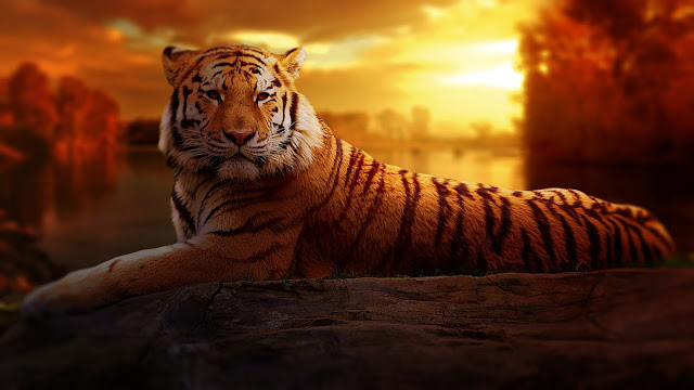 A Big Cat or Tiger Beautiful HD Wallpaper
