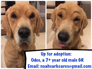 Odee, A 7+yo GR Up For Adoption!
