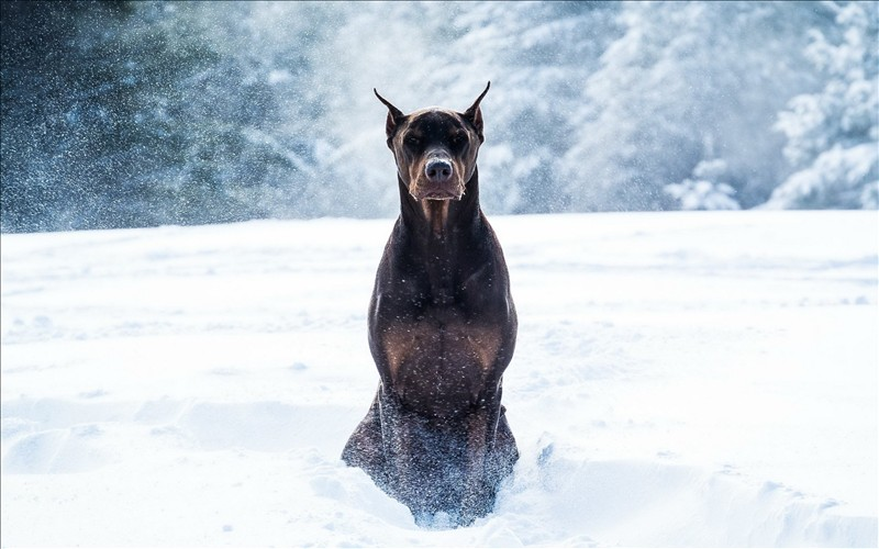 Winter Dogs Doberman Pinscher Animals