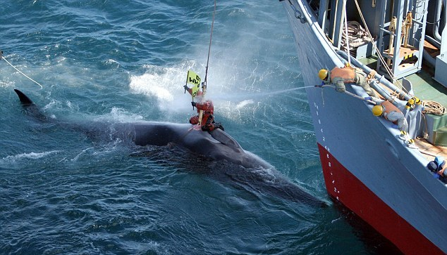 stop japanese whale killing for fishing