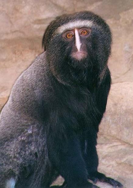1a52490b591b8 Animales extraÑos curiosidades animales mono cara de búho jpg 437x615 Mono  su cara