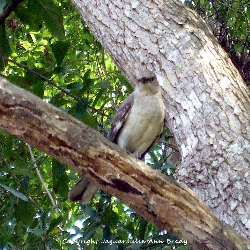 Adult Mockingbird Protective Behavior 9