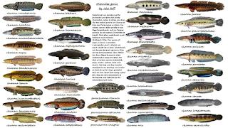 Semua Tentang Ikan Hias Air Tawar Jenis Jenis Ikan Gabus Air Tawar Channa Snakehead Fish