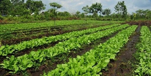 Pupuk Organik Untuk Sayuran Yang Ampuh Tingkatkan Hasil Panen