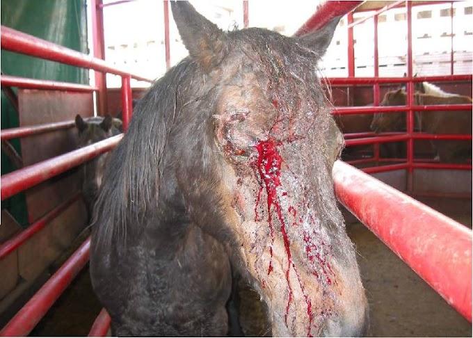 Perdarahan pada Hewan dan Penangananya (Bedah Veteriner)