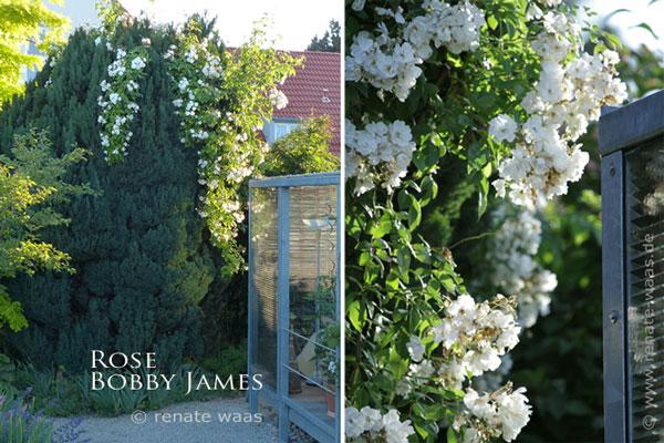 Eine alte Scheinzypresse bekommt ein neues Kleid mit der Ramblerrose Bobby James
