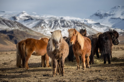 Icelandic Horses_by_Laurence Norah-12